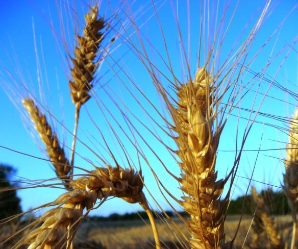 Wheat Field (Olathe) 6-1-12 am 014