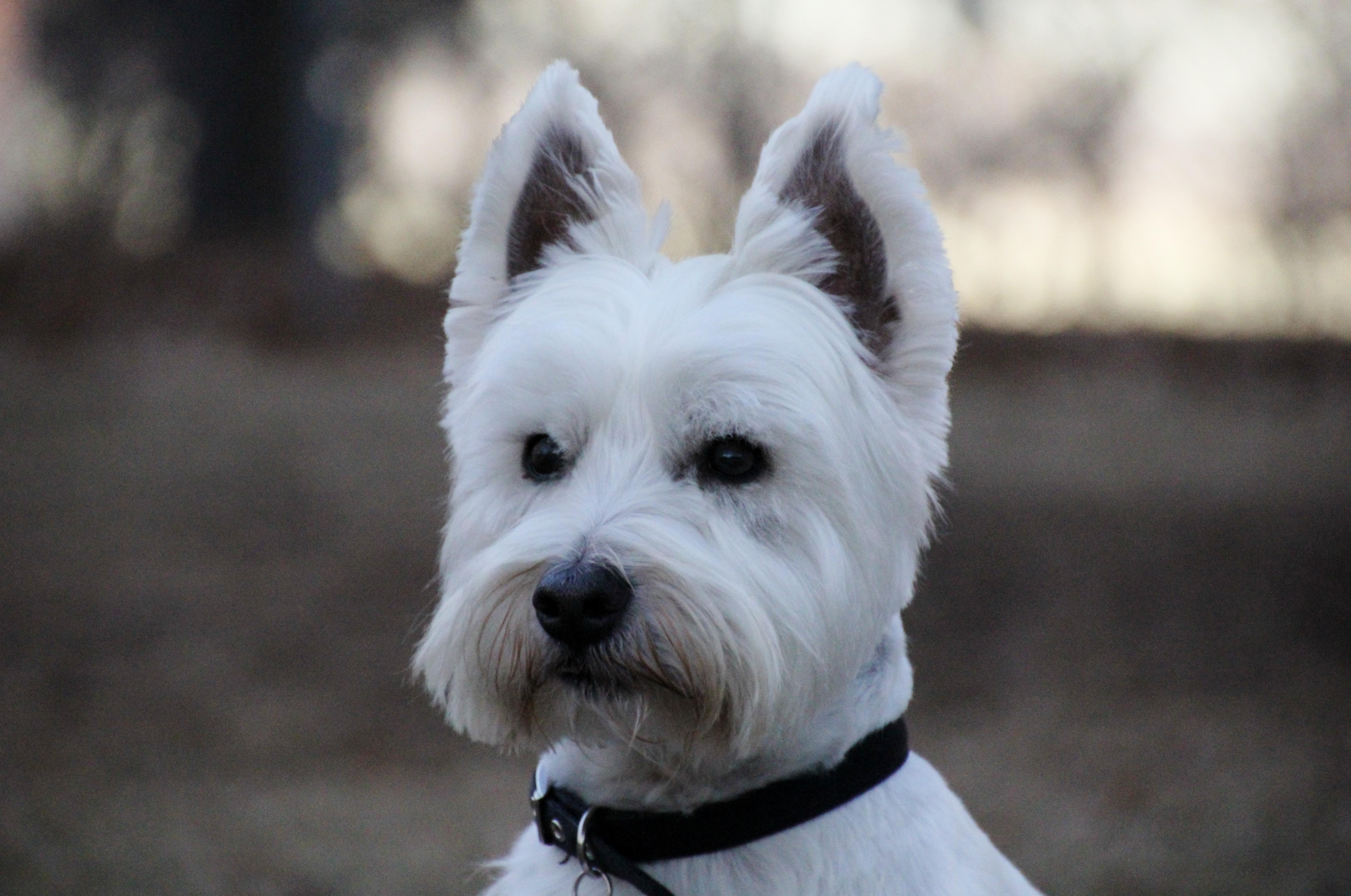 west highland terrier mdorandotcom