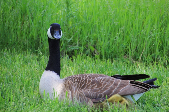 Geese 5-11-15 009