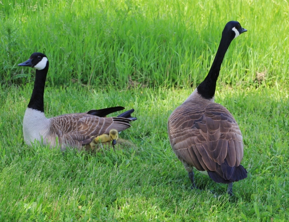 Geese 5-11-15 017