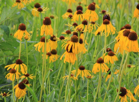 Cone Flowers 6-2-15 001