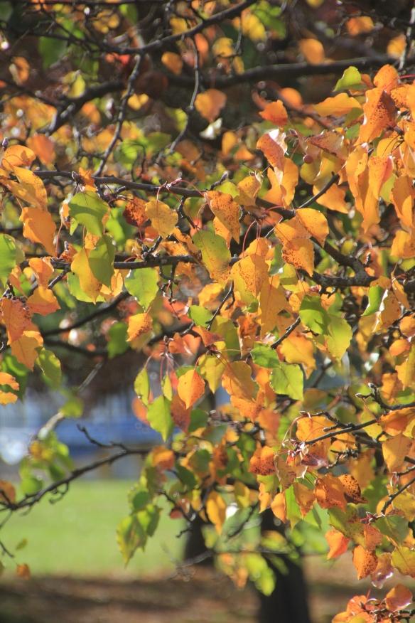 60D Pear Tree 008