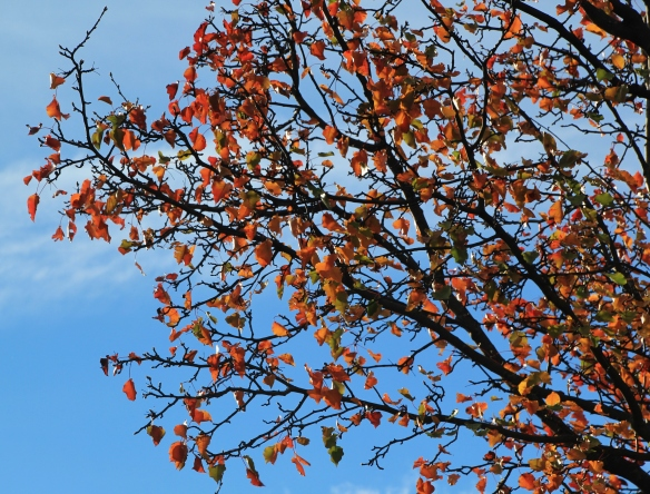 60D Pear Tree 009.JPG