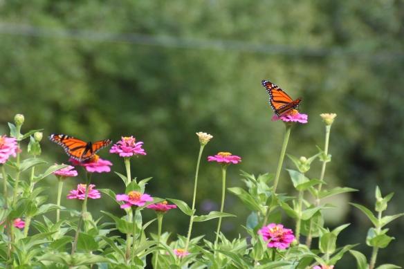 Monarchs & Zinnias a 9-18-11