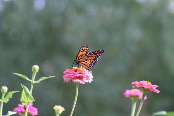 Monarchs & Zinnias c 9-18-11