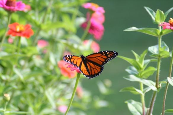 Monarchs & Zinnias h 9-18-11