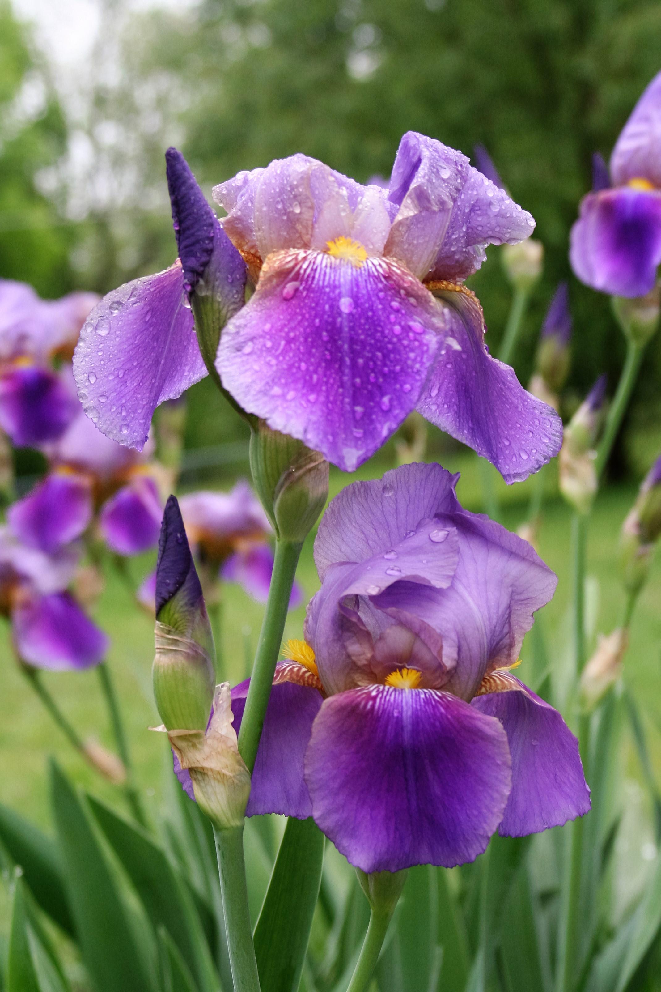 Iris' 5-13-11 004