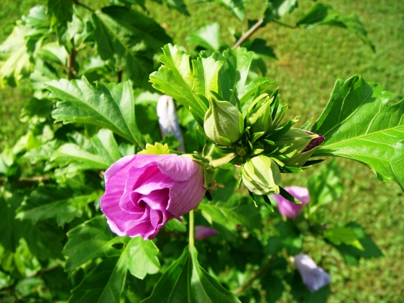 Rose Of Sharon 7-31-10 003